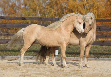 pony: Two amazing palomino stallions playing together in autumn, welsh mountain pony and welsh pony of cob type Stock Photo