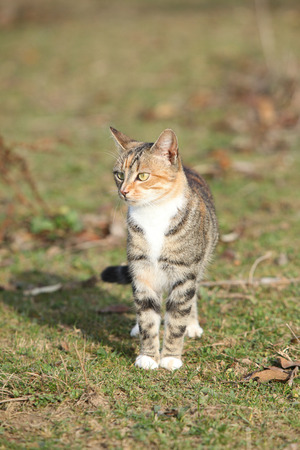tricolour: Amazing tricolour cat standing in the garden in autumn Stock Photo