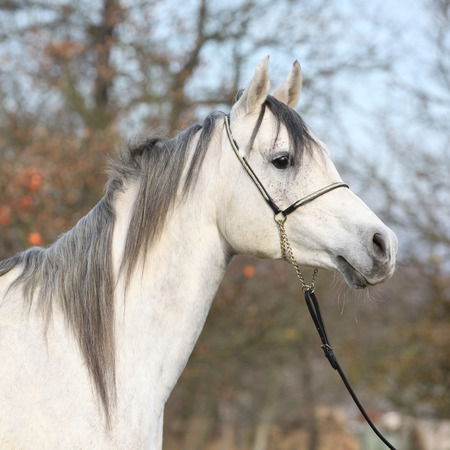 Portrait of amazing arabian horse with show halter in autumn Stockfoto