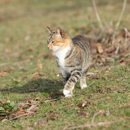 tricolour: Amazing tricolour cat moving in the garden in autumn