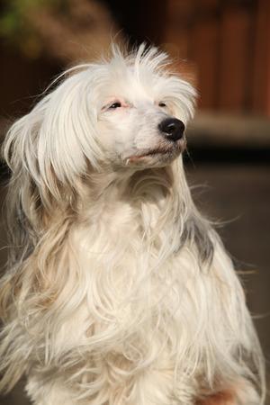 vigilant: Beautiful white chinese crested dog sitting near the house