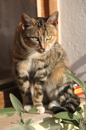 tricolour: Amazing tricolour cat with nice eyes looking at you