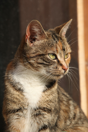 tricolour: Portrait of amazing tricolour cat with nice eyes looking at you