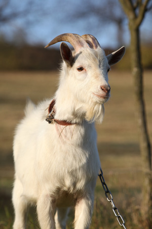 Portrait of goat with horns in autumn