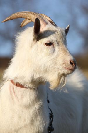 bocinas: Retrato de cabra con cuernos en oto�o