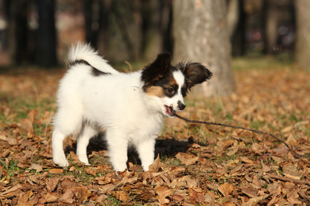 vigilant: Adorable papillon puppy playing with a stick in autumn