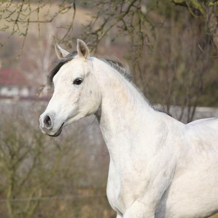 Weißer arabischer Stallion allein im Herbst laufen