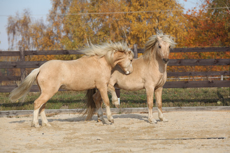 palomino: Two amazing palomino stallions playing together in autumn, welsh mountain pony and welsh pony of cob type Stock Photo