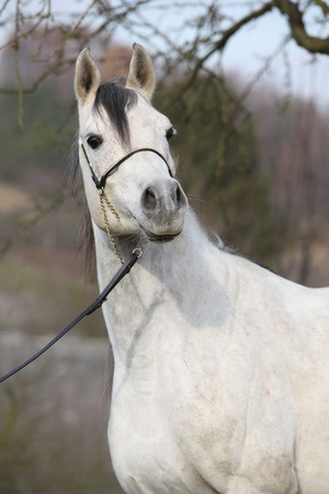 halter: Portrait of amazing arabian horse with show halter in autumn Stock Photo