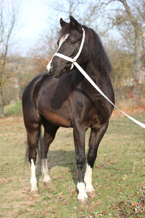 halter: Portrait of black welsh mountain pony with halter