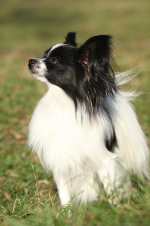 inaction: Gorgeous papillon standing alone in autumn forest