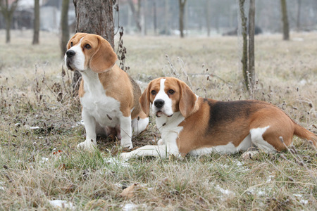 inaction: Two amazing beagles in winter garden together