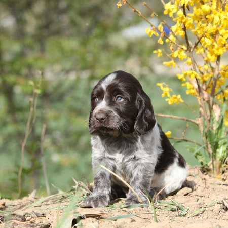 Beautiful puppy of German Quail Dog in spring