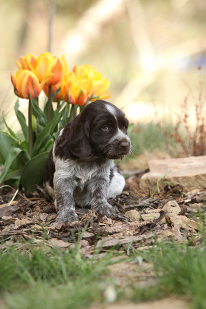 inaction: Beautiful puppy of German Quail Dog in spring