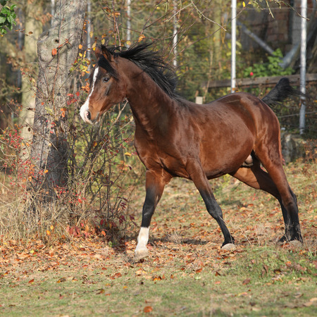 Brown arabian stallion in Fahrerlager läuft mit Bäumen