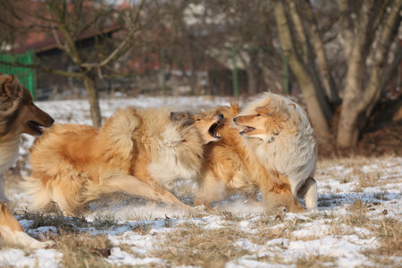 collies: Beautiful Scotch collies playing together in winter