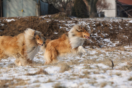 collies: Beautiful Scotch collies running on snow in winter