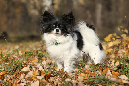 standing alone: Gorgeous papillon standing alone in autumn forest