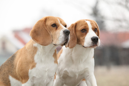 vigilant: Two amazing beagles in winter garden together