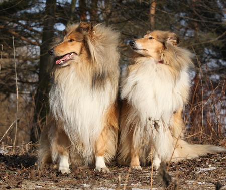 collies: Two beautiful scotch collies sitting in the forest