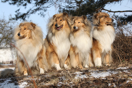collies: Group of scotch collies sitting together in the forest