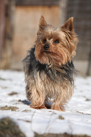 inaction: Beautiful Yorkshire Terrier standing on snow in winter