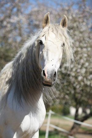 yegua: Retrato de una hermosa yegua andaluz blanco en primavera