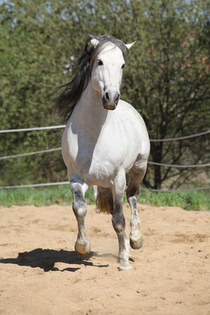 andalusian: Amazign white andalusian stallion moving in spring