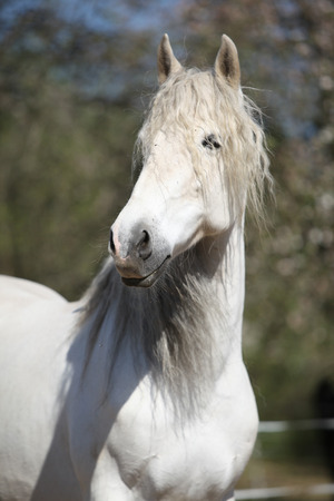 inaction: Portrait of beautiful white andalusian mare in spring