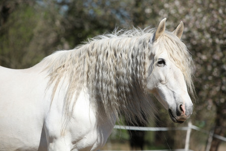 andalusian: Portrait of beautiful white andalusian mare in spring