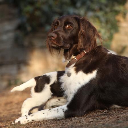 whelp: Small Munsterlanderbitch with puppies in the garden