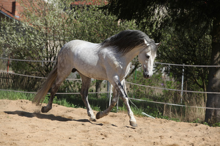 horse andalusian horses: Amazign white andalusian stallion moving in spring