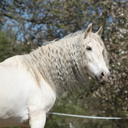 inaction: Amazig white andalusian mare with long hair in spring Stock Photo