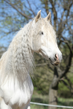 horse andalusian horses: Portrait of beautiful white andalusian mare in spring
