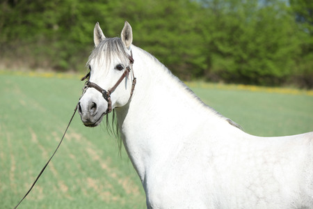andalusian: Portrait of beautiful white andalusian stallion in spring Stock Photo