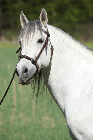 inaction: Portrait of beautiful white andalusian stallion in spring Stock Photo