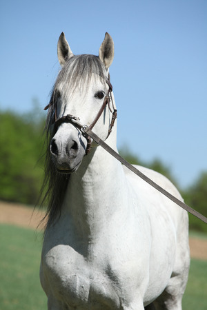 horse andalusian horses: Portrait of beautiful white andalusian stallion in spring Stock Photo