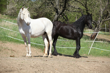 horse andalusian horses: White andalusian horse with black friesian horse in spring