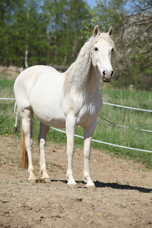 andalusian: Amazig white andalusian mare with long hair in spring Stock Photo