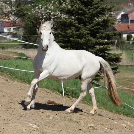 mare: Amazing white andalusian mare in spring paddock