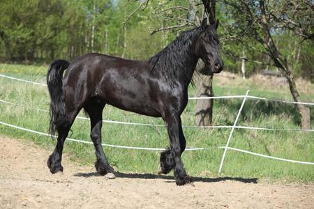 yegua: Negro frisio yegua en movimiento solo en primavera