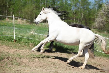 yegua: Incre�ble yegua andaluz blanco en el paddock de primavera Foto de archivo