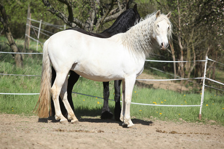 andalusian: Amazing white andalusian mare in spring paddock