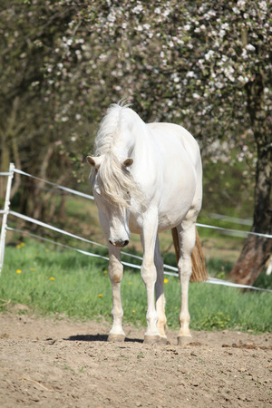 horse andalusian horses: Amazing white andalusian mare in spring paddock