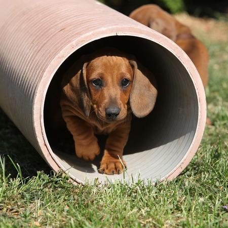 vigilant: Gorgeous Dachshund puppy moving in the garden