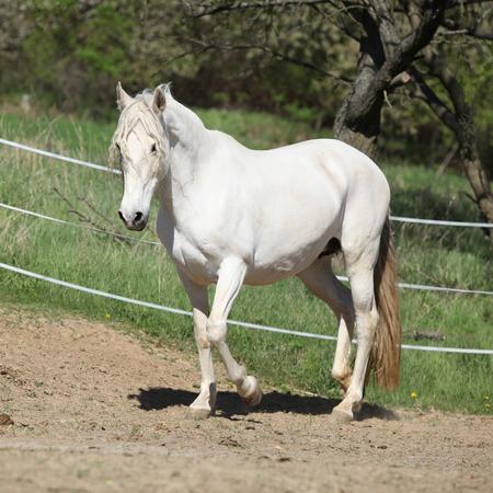yegua: Increíble yegua andaluz blanco en el paddock de primavera Foto de archivo