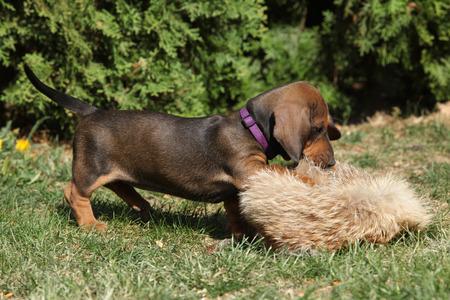vigilant: Gorgeous Dachshund puppy playing in the garden