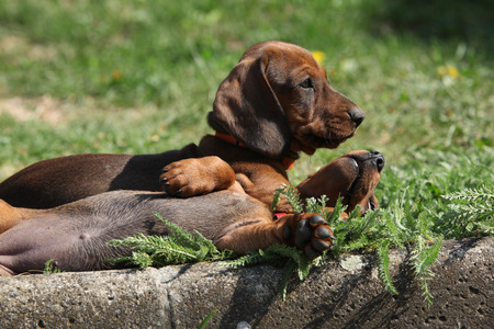 inaction: Nice Dachshund puppies laying together in the garden Stock Photo