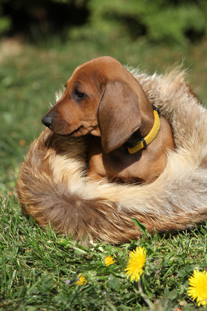 inaction: Adorable Dachshund puppy sitting in the garden alone Stock Photo