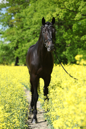 inaction: Amazing black dutch warmblood in colza field